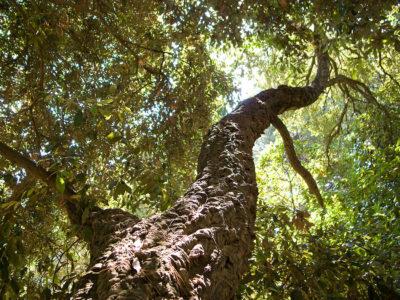 Exception végétale du camping : les chênes liège
