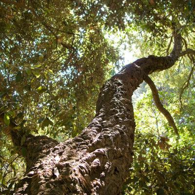 Chêne-liège au camping