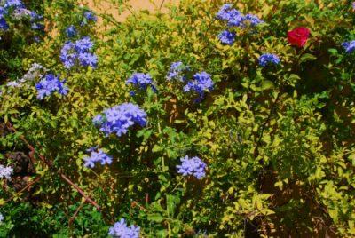 Les plumbagos du Var en fleurs