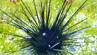 Oursin au musée océanographique de Monaco