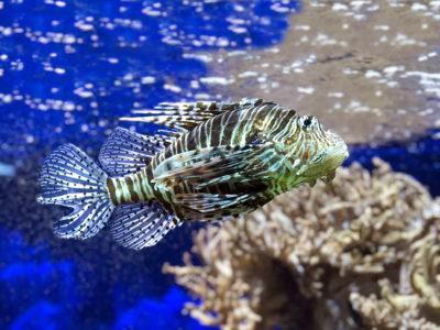 Rascasse au musée océanographique - vacances