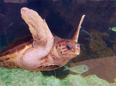Tortue marine au musée océanographique de Monaco