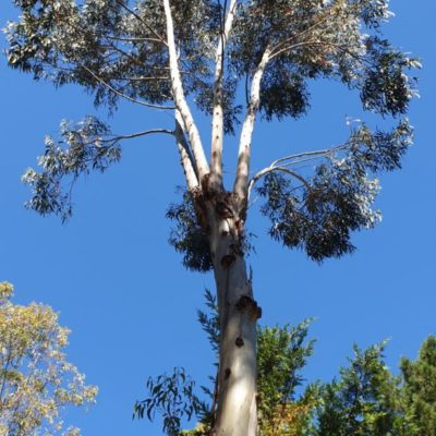 Admirez les grands eucalyptus du camping