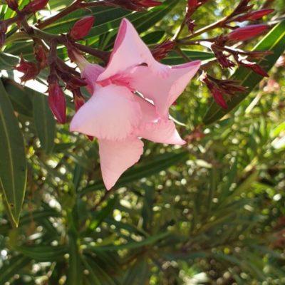 Haies fleuries, voici les lauriers roses, partout dans le camping