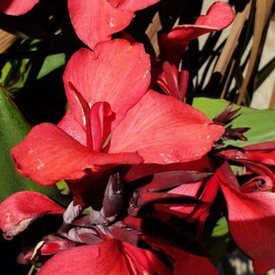 Balisier (Canna hybride)