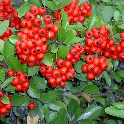 Buisson ardent (pyracantha)