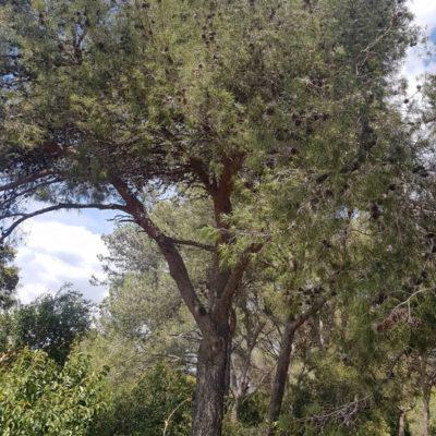 Traditionnel dans le Var : le pin d'Alep arbore le camping