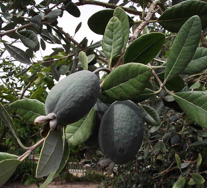 Goyavier du Brésil