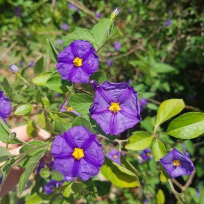 Solanum au camping