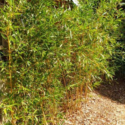 Bambous dorés du camping