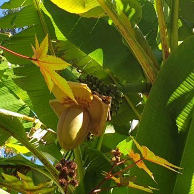 En voyage dans le Var : bananier du Japon du camping