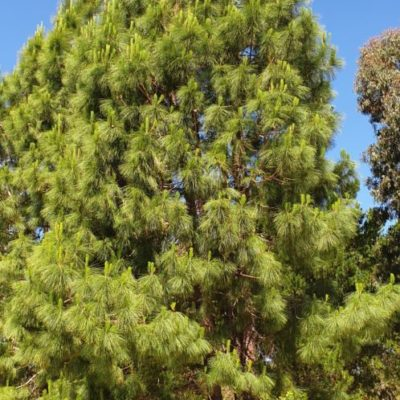 Un camping éco-responsable : le pin des Canaries