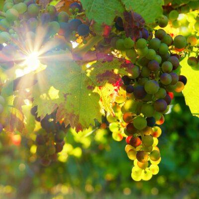 Les Vignobles londais, le savoir-faire des vignerons de Provence