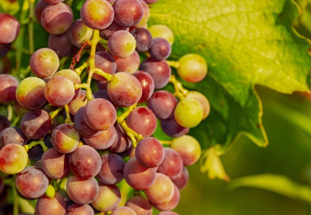 L'attribut alt de cette image est vide, son nom de fichier est grapes-3555214_1920-1024x708.jpg.